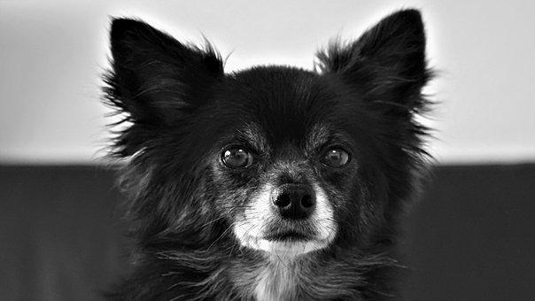 Chihuahua, Dog, Small, Cute, Black White, Pet, Fur
