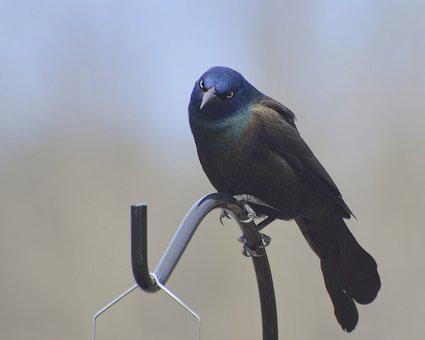 Common Grackle, Grackle Standing, Grackle, Common, Post