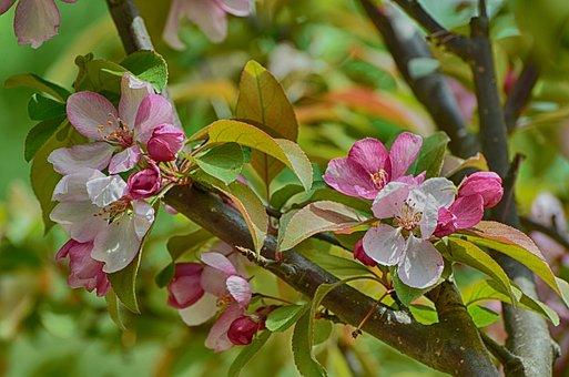Flowers Blooming, Apple Flowers, Crab Apple, Blooming