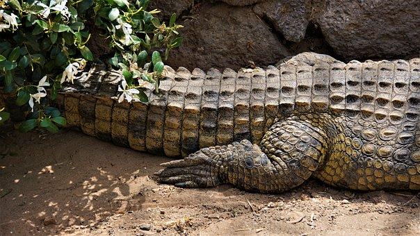 Crocodile, Alligator, Reptile, Hind Leg, Scale, Tail