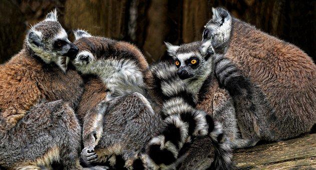 Lemurs, Primates, Nature, Striped, Eyes, Cute