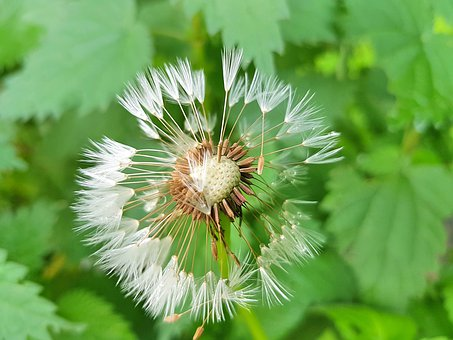 Dandelion, Seeds, Nature, Close Up, Pointed Flower