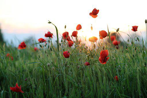 Red Poppy, Evening, Sunset, Bloom, Golden Hour, Flower
