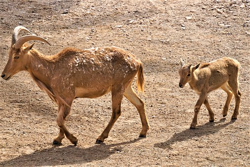 Wild Goat, Young, Family, Mother, Chase, Nature, Zoo