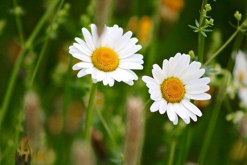 Marguerite, Flower, Plant, Nature, Blossom, Bloom