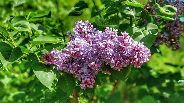 Lilac, Flower, Spring, Common Lilac, Purple, Pink