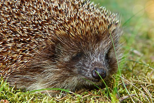 Hedgehog Western, Portrait, The Nose, Spikes, Forest