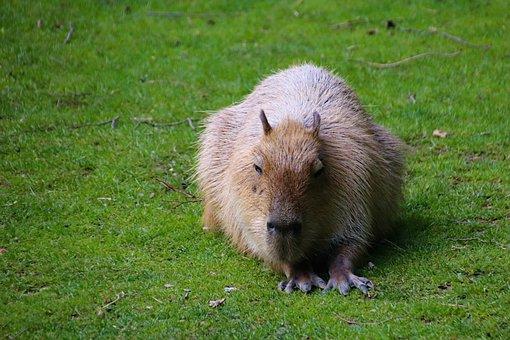 Capybara, Rodent, Large, Animal, South American