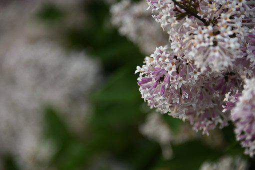 Lilac, Flower, Bloom, Color, Leaf, Plant, Growth, Life