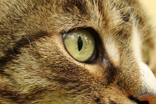 Cat, Domestic Cat, Cat's Eye, Fur, Mackerel, Close Up