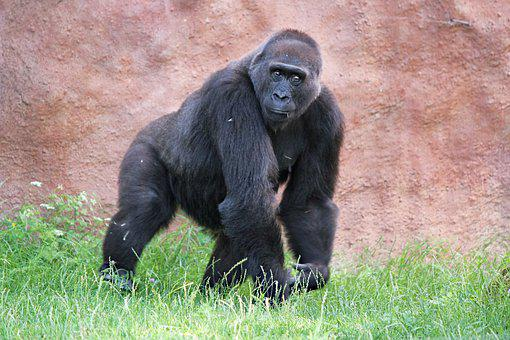 Gorilla, Lowland, Primate, Male, Monkey, Animal, Black