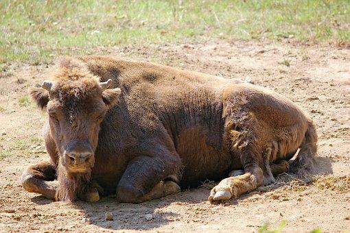 Bison, The European, Tur, Animal, Mammal, Artiodactyl