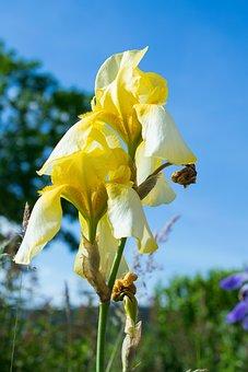 Iris, Blossom, Bloom, Yellow, Flower, Nature, Garden