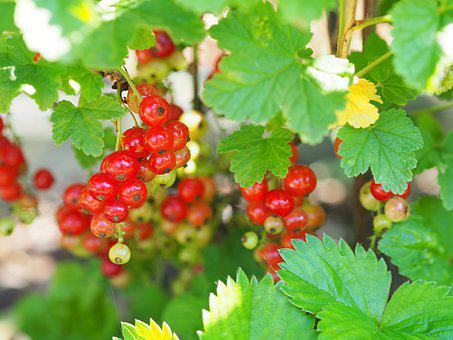 Currant, Garden, Plant, Bush, Green, Red, Nature