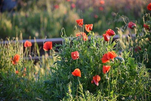 Red Poppys, Near Railway, Evening, Sunset, Bloom