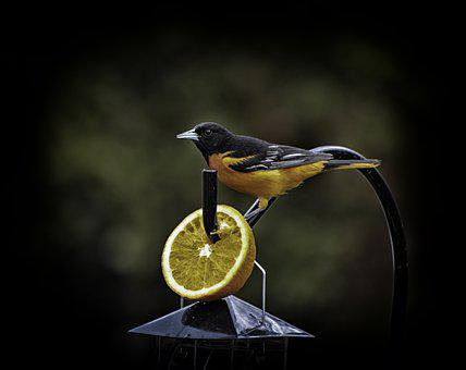 Beautiful Bird, Beauty Shows, Orange Slices