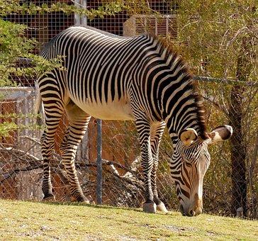 Zebra, Stripes, Animal, Mammal, Nature, Pattern
