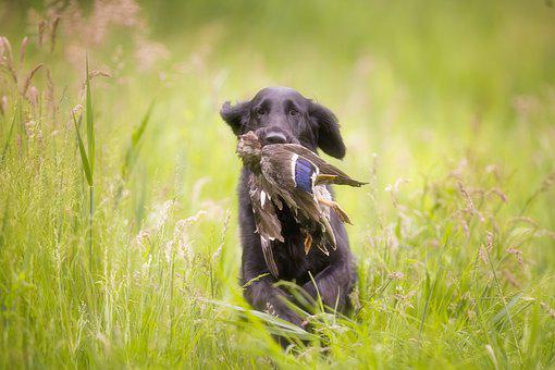 Dog, Flatcoated, Retriever, Black, Animal Kingdom, Pet