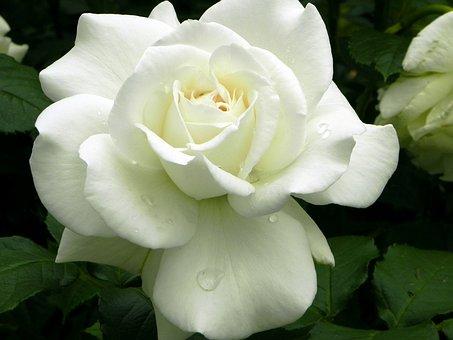 Rose, Flower, White, Wedding, Plant, Noble, Dew