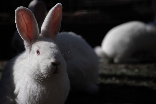 Hare, Rabbit, Easter, Animal, Cute, Rodent, Ears, Furry