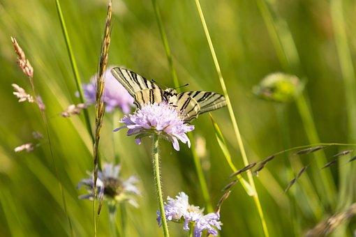 Butterfly, Scarce Swallowtail, Iphiclides Podalirius