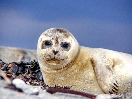 Seal, Robbe, Sea, Beach, North Sea, Meeresbewohner