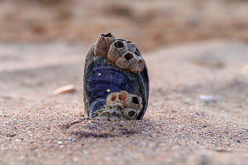 Mussels, Sand, Sea, Fish, Seashell, Shell, Animal