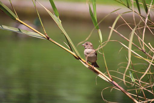 Sparrow, Birds, Ornithology, Sparrows, Spring