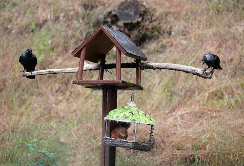 Jackdaws, Squirrel, Bird Feeder, Futterneid, Doubles