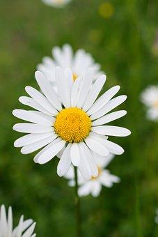 Marguerite, Meadow Daisy, Wild Flower, Summer Flower