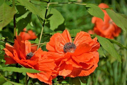 Poppies, Flowers, Blossoms, Red, Summer, Garden, Bloom