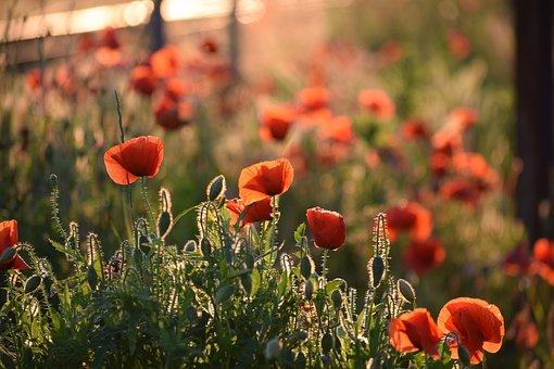 Red Poppy, Evening, Golden Hour, Sunset, Bloom