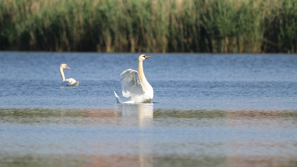 Swan, Lake, Bird, Plumage, Elegant, Pride, Water Bird