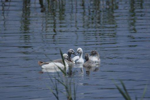 Swan, Babies, Animal, Nature, Water, Bird, Lake, White