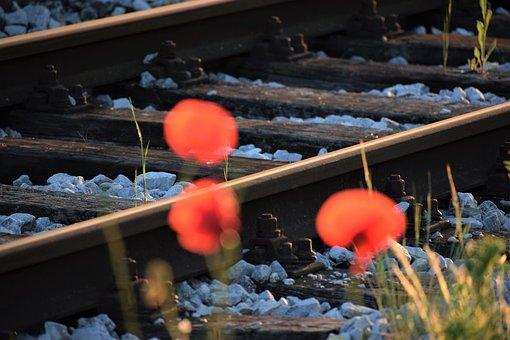 Three Red Poppys, Near Railway, Evening, Sunset, Bloom