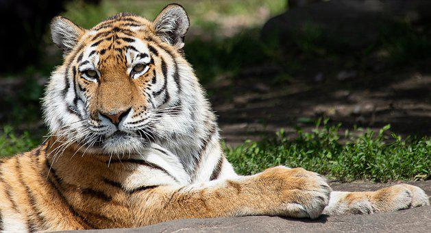 Tiger, Siberian Tiger, Mammal, Animal, Animal World