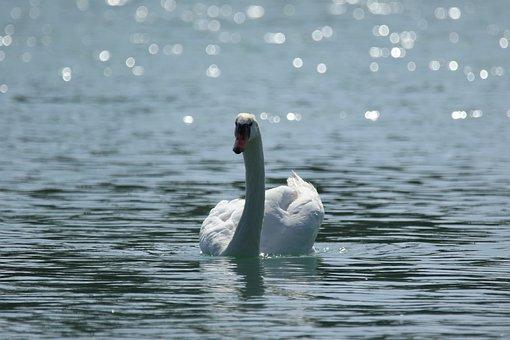 Swan, White, Water, Light, Sparkle, Beauty