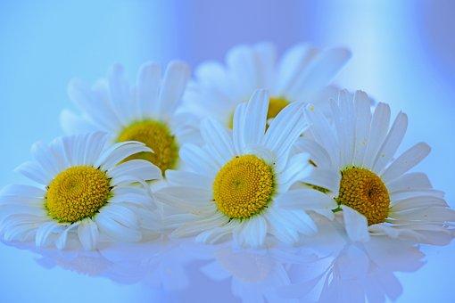 Marguerite, Flowers, Blossom, Bloom, Bloom, White