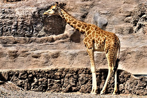 Giraffe, Animal, Africa, Zoo, Safari, Animal World
