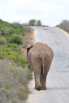 Elephant, Addo, Addo Elephant Park, Garden Route