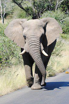 Elephant, Big5, Bigfive, Roadblock, Animal, Nature