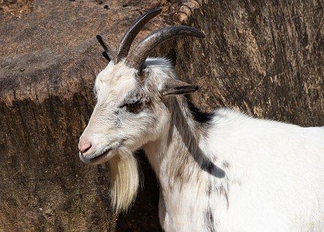 Goat, Mammal, Animal, Animal World, Horns, Cattle
