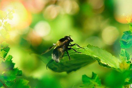 Trzmielówka, Muchówka, Insect, Antennae, Leaf, Animals