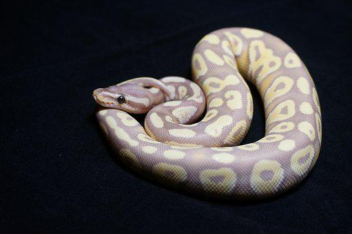 Ball Python, Snake, Reptile, Orange Dream, Desert Ghost