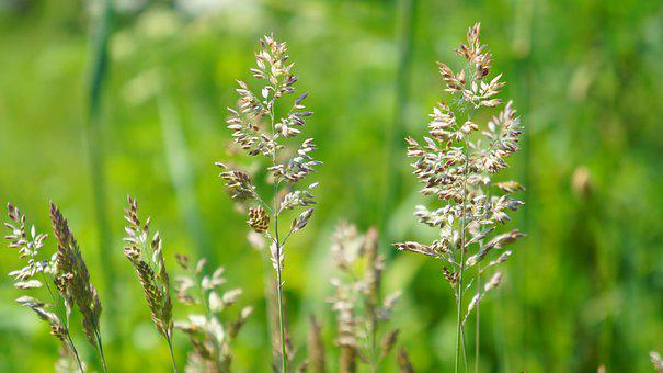 Nature, Plants, Grass, Seeds, Blossoming, Blades