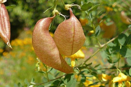 Blazenstruik, Colutea Arborescens L, Europe