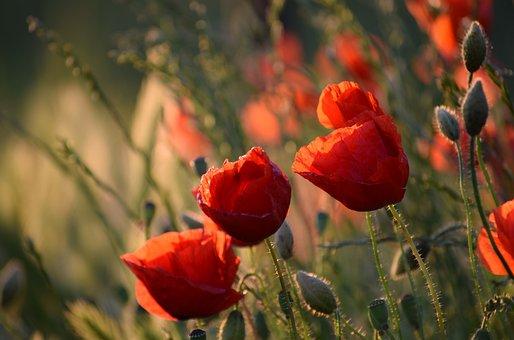 Red Poppys, Blooming, Evening, Sunset, Golden Hour