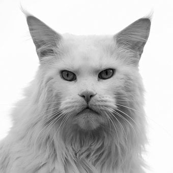 Cat, Man, Pride, Angry, Mainecoon, Animal, Hangover