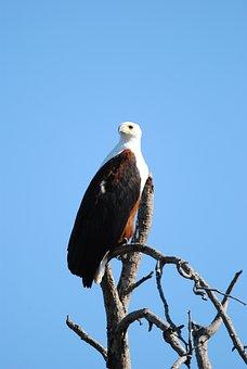 Fisheagle, Eagle, Bird, Raptor, Majestic, Kruger