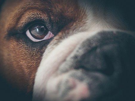 Oscar, English Bulldog, Bulldog, Animals, Dog, Cute
